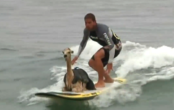 Surfer Alpaca: Domingo Pianezzi already thinks how will he teach his elefant
