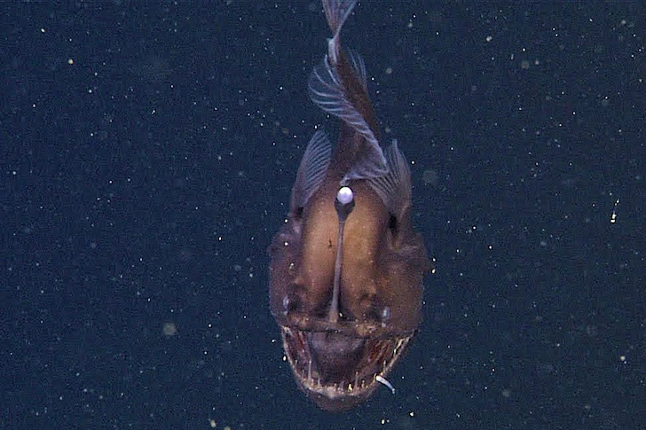 ... -ever images of a female anglerfish, also known as Black Sea Devil