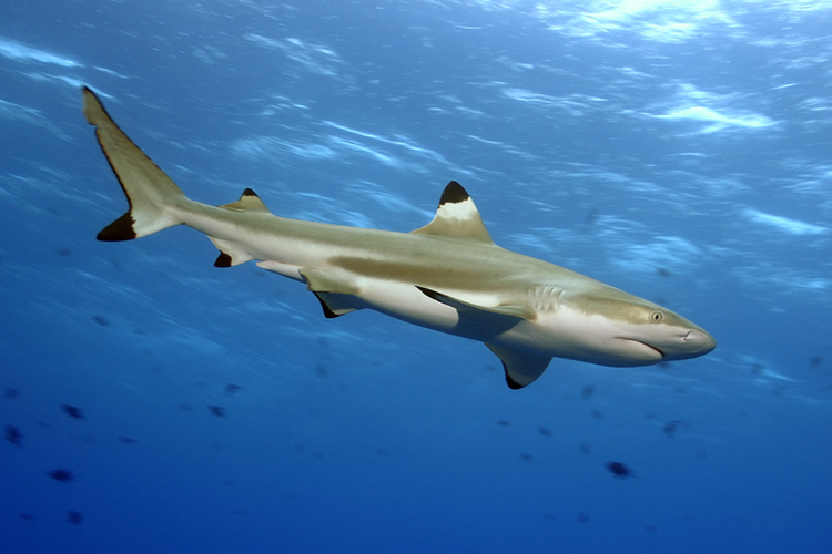 The Blacktip Shark | Photo: Shutterstock