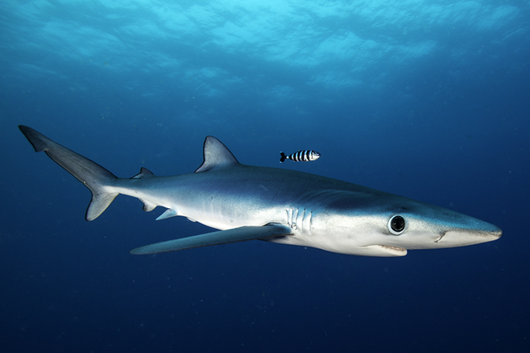 The Blue Shark | Photo: Shutterstock