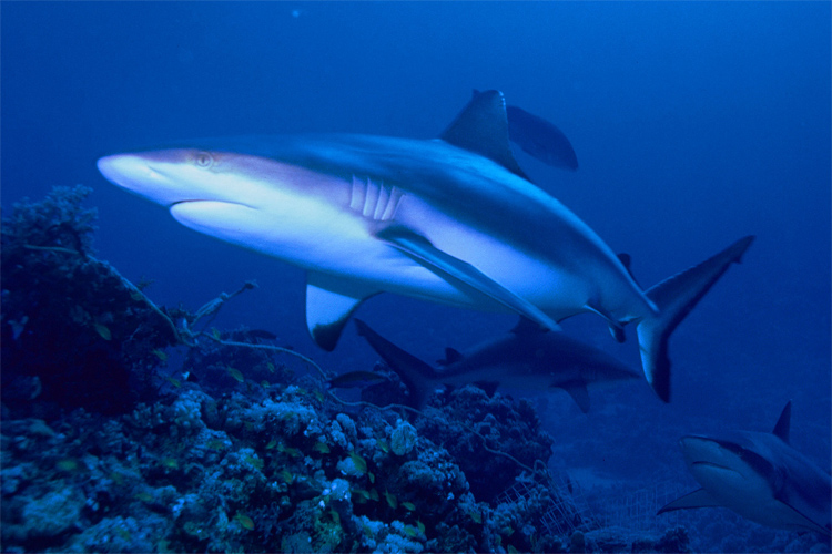 Bronze whaler shark: found mostly at temperate latitudes | Photo: Creative Commons