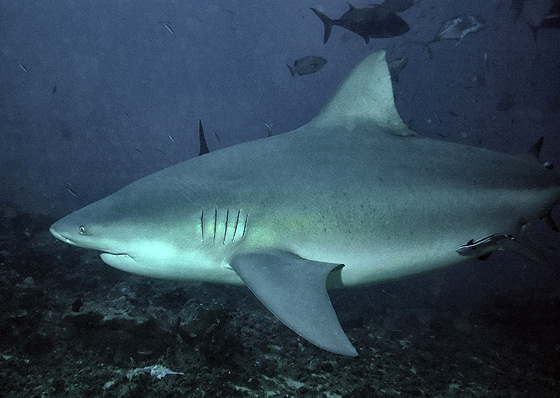 Bull shark: attacks in shallow water