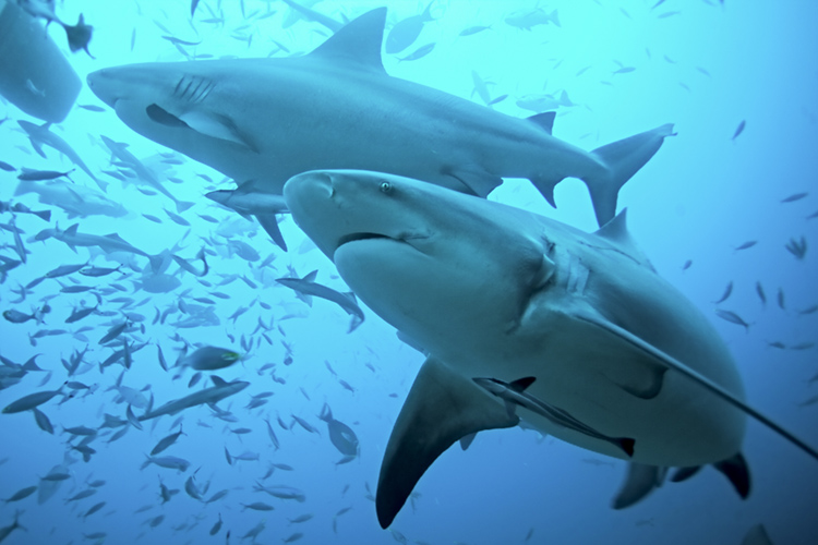 The Bull Shark | Photo: Shutterstock