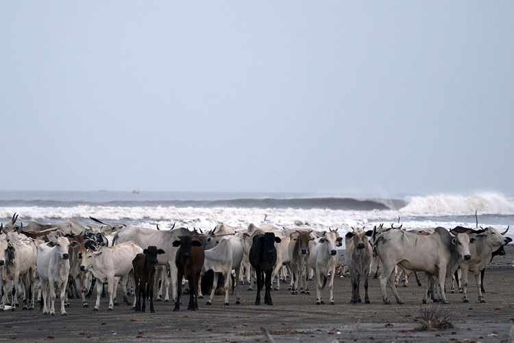 India: a perfect right-hand wave breaks in front of cattle | Photo: Aspuru