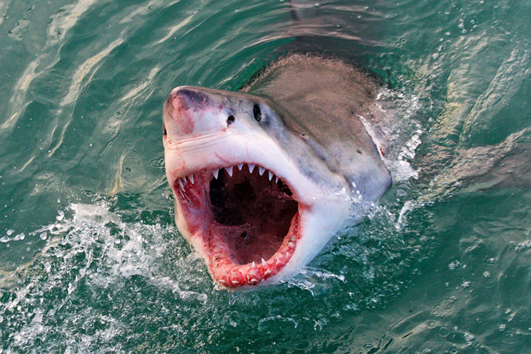 Sharks: there are 12 potentially deadly species | Photo: Shutterstock