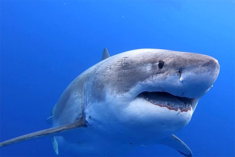 Deep Blue: the female ocean predator weighs around 2.5 tons