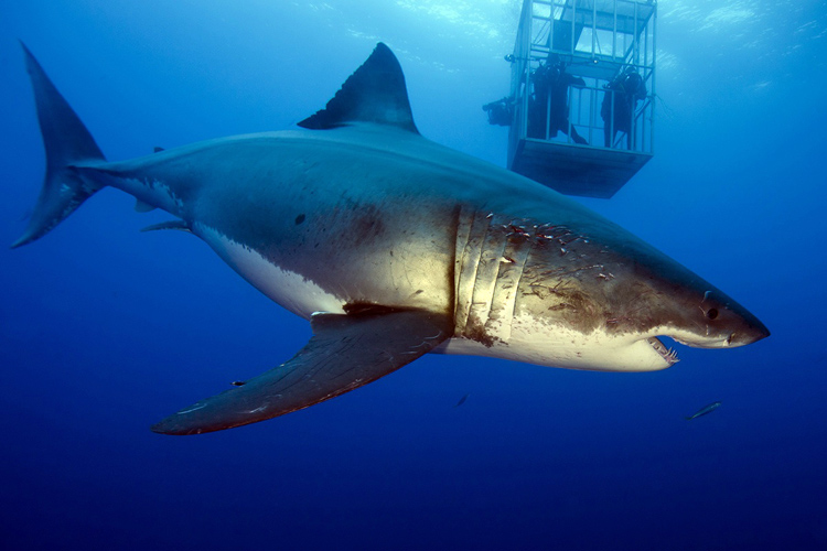 Deep Blue: the world's largest great white shark | Photo: Mauricio Hoyos Padilla