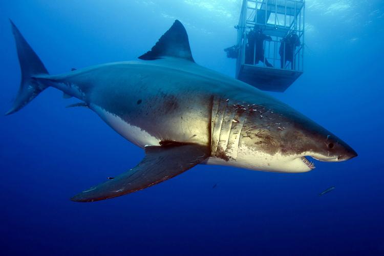 Deep Blue: the world's largest great white shark | Photo: Mauricio Hoyos Padilla