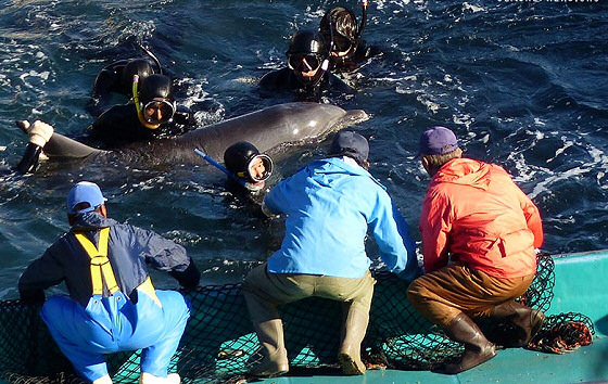 Taiji slaughter: activists defend dolphins from Japanese killers