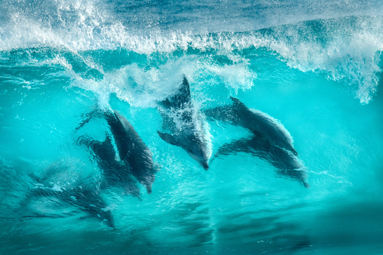 Dolphins: they're talented surfers | Photo: Shutterstock