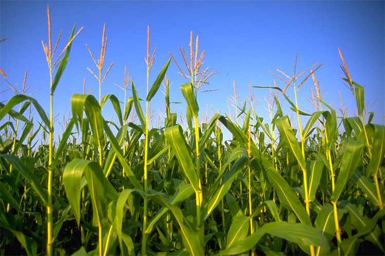 GMOs: safe or dangerous? | Photo: Creative Commons