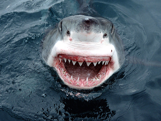 Great White shark: brainiac