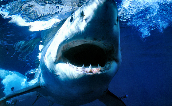 Great White Shark: deadly and rare