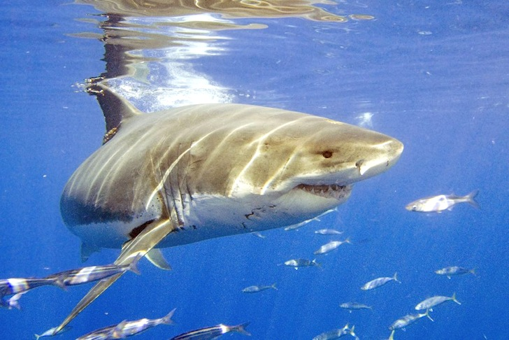 Great white shark: there are cannibals in the family