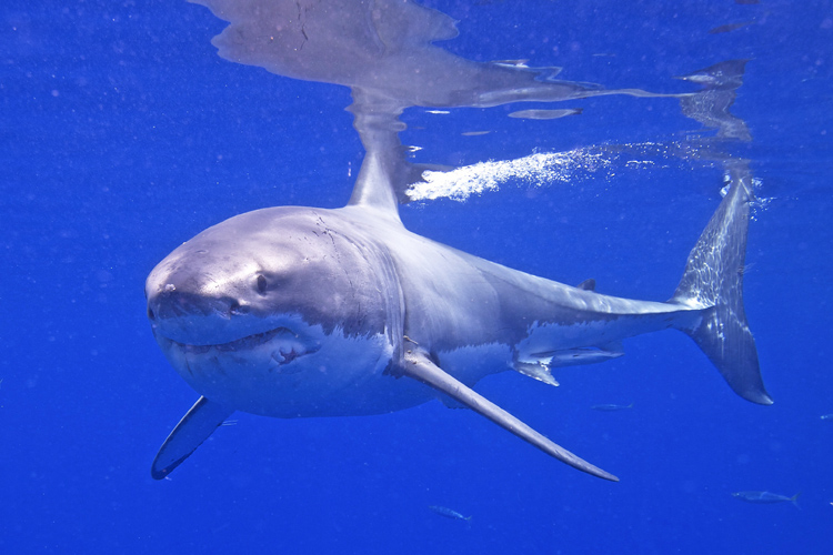Great White Shark: loves temperate waters | Photo: Elias Levy/Creative Commons