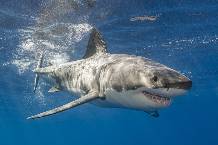 Great white shark: Things you didn't know about the ocean predator