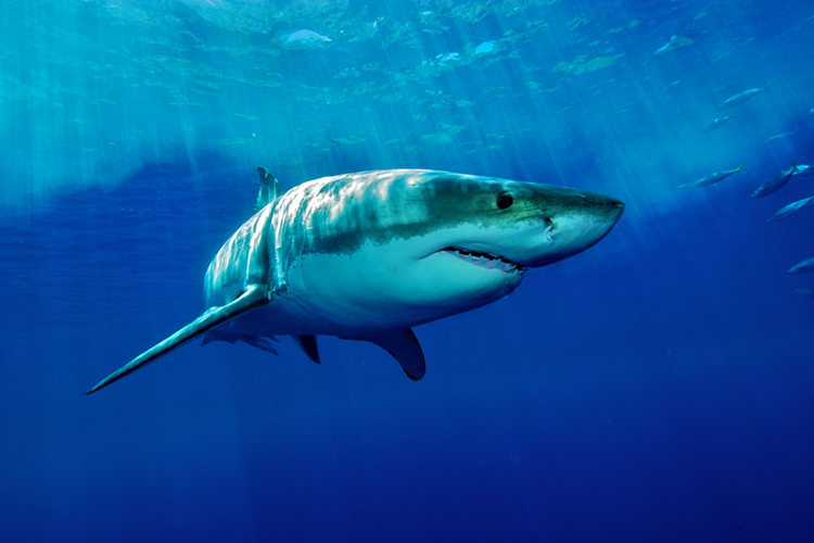 The Great White Shark | Photo: Shutterstock
