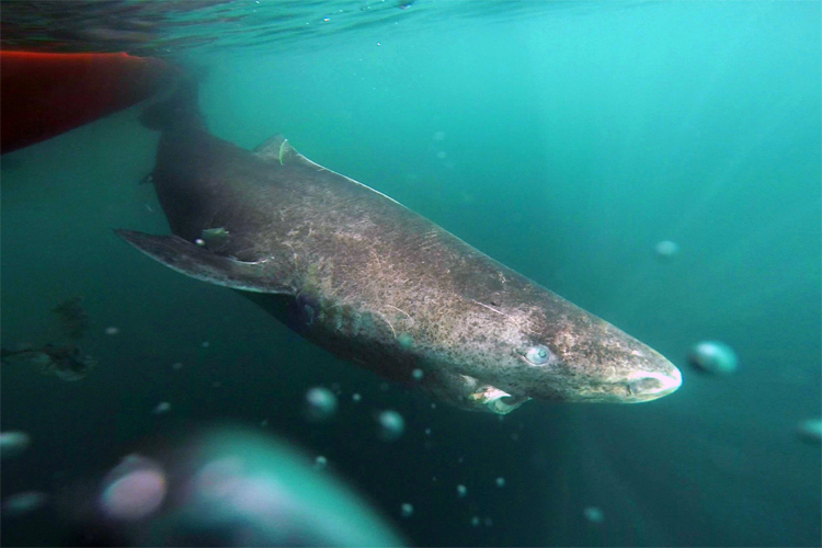 Greenland Shark: the cold water predator can live up to 512 years | Photo: University of Copenhagen