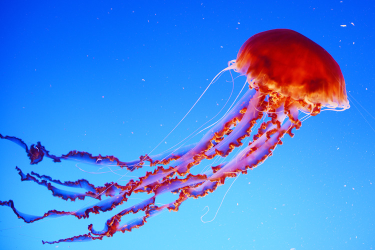 Jellyfish: the sting can be deadly | Photo: