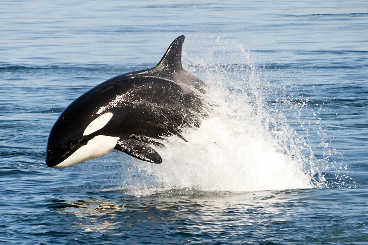 Killer whale: the largest member of the dolphin family | Photo: Shuttersotck
