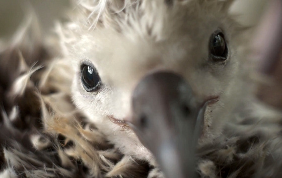 Albatross: being killed for the sake of plastics