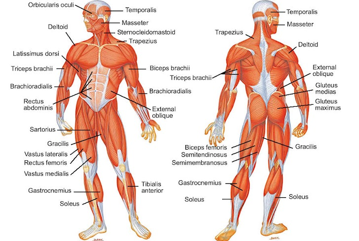 Major muscles of the human body: calf cramps and foot cramps are common in surfing