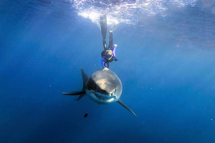 Ocean Ramsey: making friends with a Great White sharks
