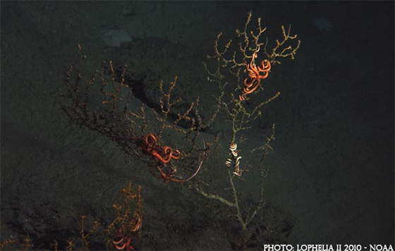 Deep-sea coral: nicely done, BP