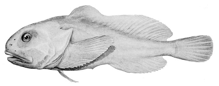 Psychrolutes marcidus: a fish without a swim bladder | Illustration: Riverstone McCulloch/Creative Commons