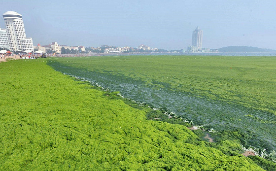 Qingdao: green algae waves