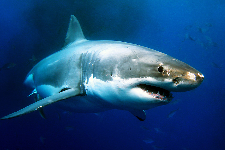 Sharks: the number of unprovoked attacks decreased in 2016 | Photo: Shutterstock