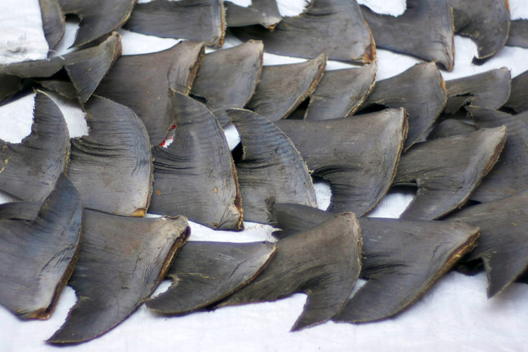 Why shark finning should be banned