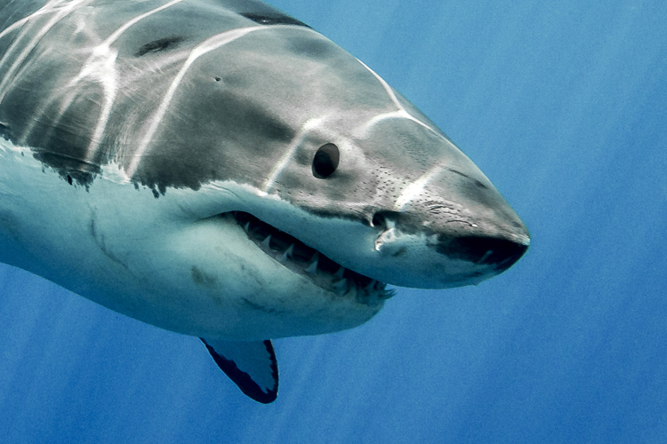 Sharks: the number of attacks on people is increasing in Reunion Island | Photo: Shutterstock