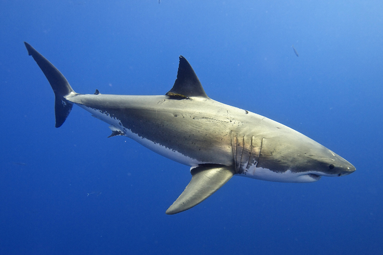 Sharks: they rule 70 percent of the world | Photo: Elias Levy/Creative Commons