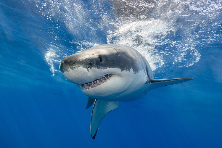 Sharks: they kill less humans than lightning strikes | Photo: Shutterstock