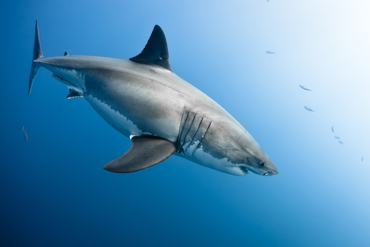 Sharks: culling is not the answer | Photo: Shutterstock