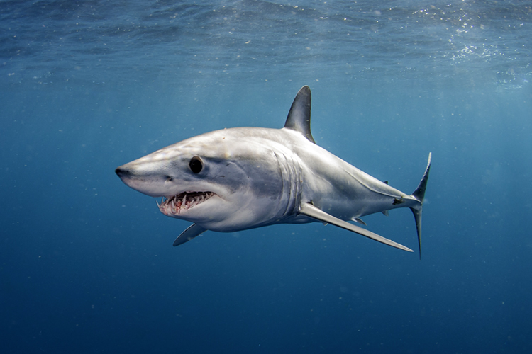 The Shortfin Mako Shark | Photo: Shutterstock