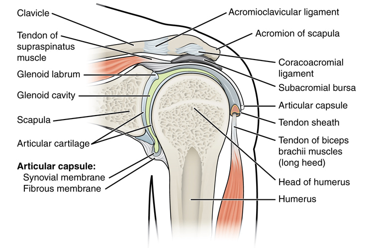 Shoulder: the group of structures with the broadest range of motion of any joint in the human body | Illustration: Creative Commons