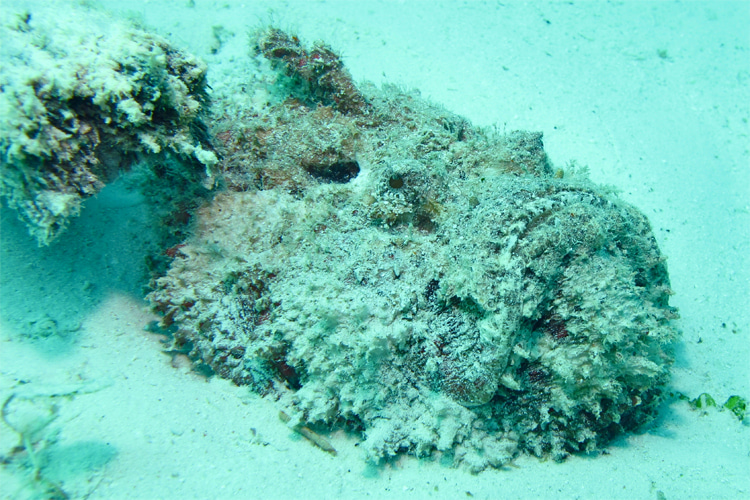 Stonefish: its camouflage resembles rocks, sand, mud and coral | Photo: Creative Commons