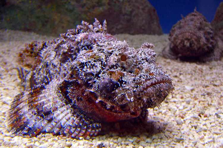 Stonefish: a lethal, stinging marine creature that lives in the Indo-Pacific region | Photo: Creative Commons