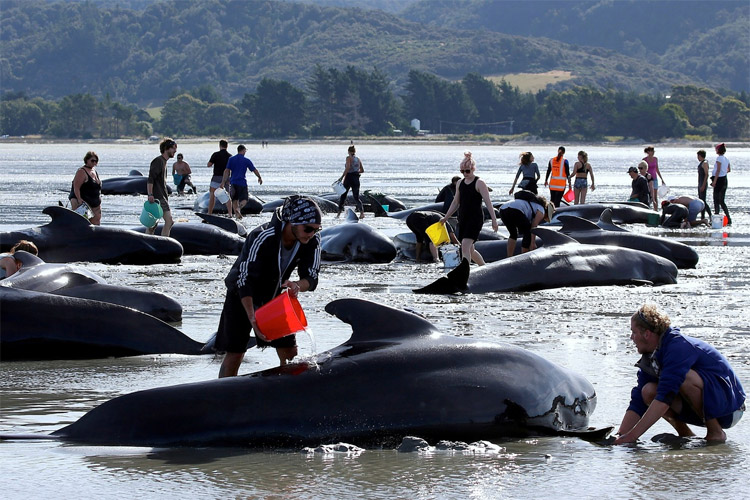 Stranded whales: Kiwi volunteers gave their best to save dozens of animals | Photo: Reuters
