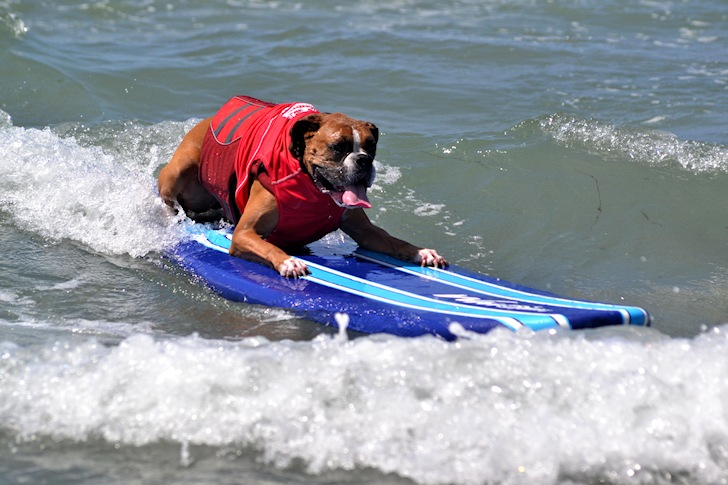 Surf dogs: they hang twenty