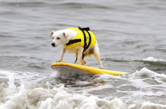 Surf dogs: style and vision | Photo: Diane Edmonds/Surf City Surf Dog