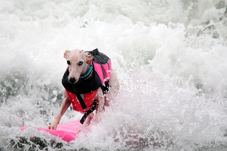 Surfer dog: canine style in the waves | Photo: San Diego Humane Society and SPCA