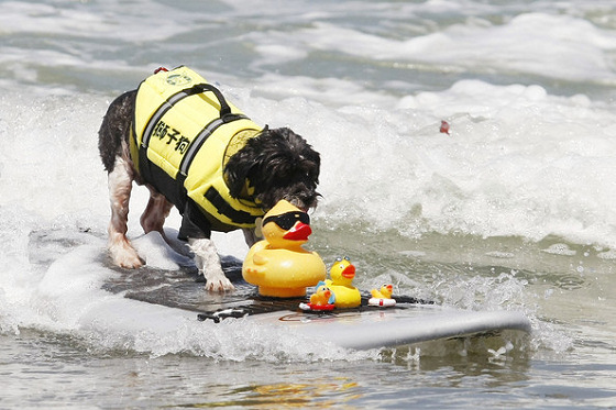 6th Annual Loews Coronado Bay Resort Surf Dog Competition: hang ten, dude | Photo: PacificCoastNews.com