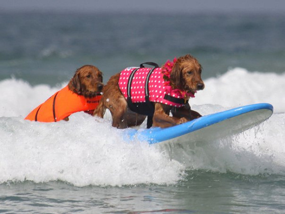 Ricochet and friend: living the dog surfing dream