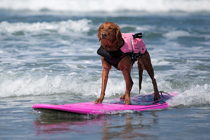 Surf dog Ricochet writes autobiography