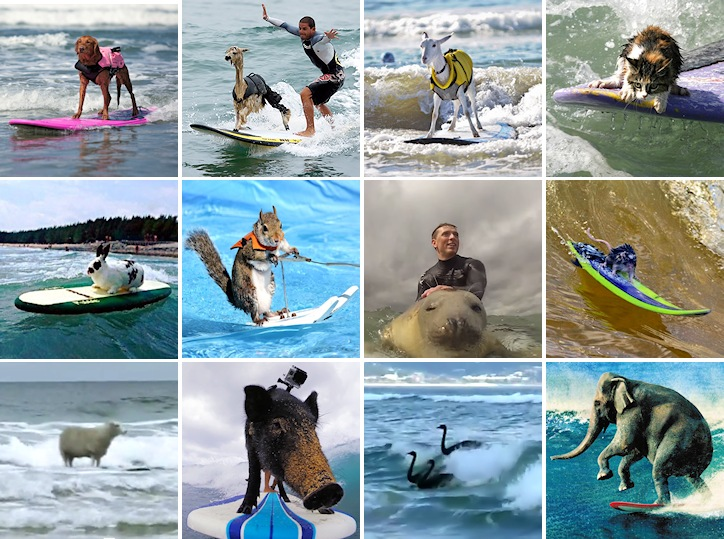 Surfing animals: dogs, alpacas, goats, cats, rabbits, squirrels, seals, mice, sheep, pigs, swans, and even elephants share the stoke