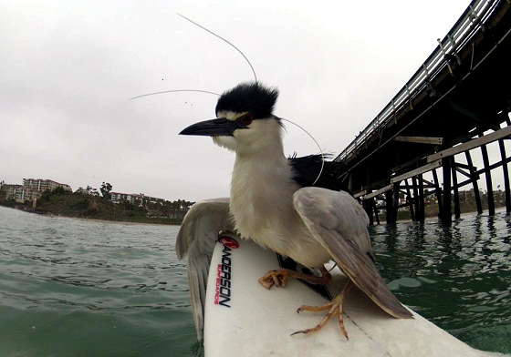 Surfing heron: enjoying a ride at the San Clemente Pier