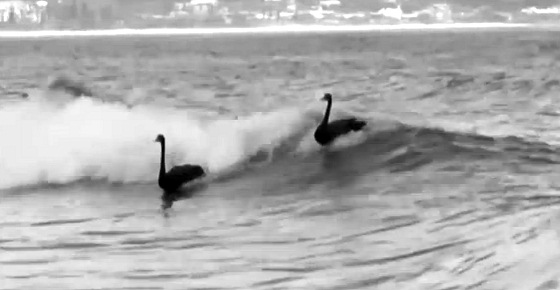 Black swans: surfing bird scores at Kirra